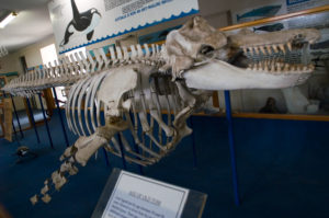 Old Tom's skeleton at the Eden Killer Whale Museum. Image Source: Wikipedia